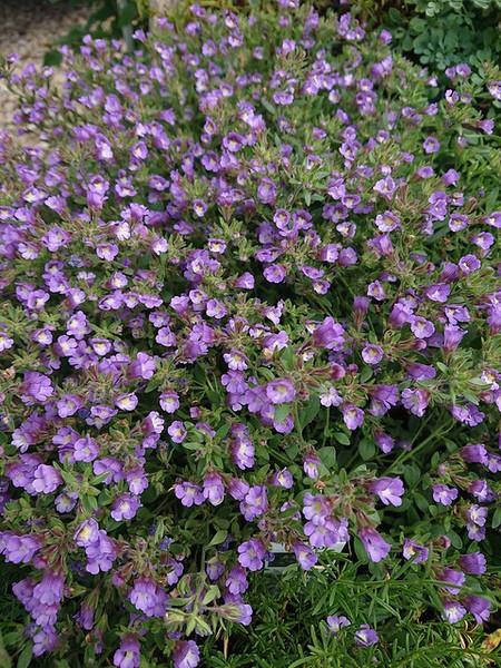 Chaenorhinum origanifolium 'Blue Dream'