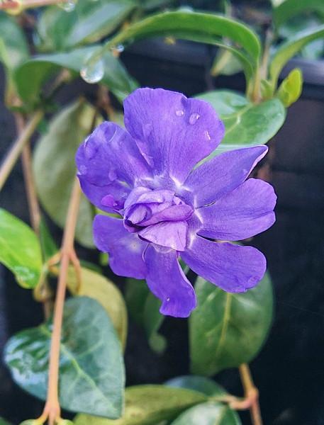 Vinca minor 'Azurea Flore Pleno'