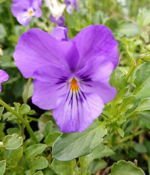Viola 'Flower Girl'
