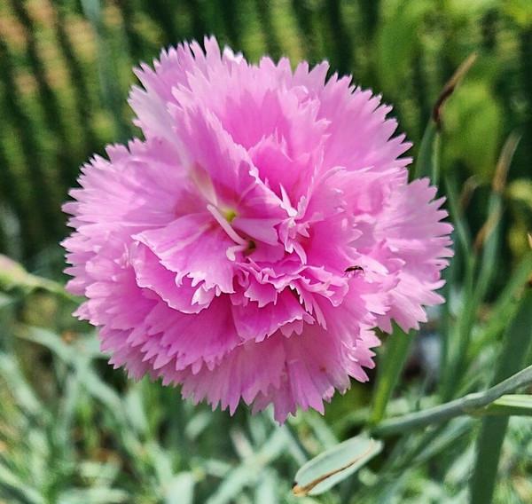 Dianthus 'Rose de Mai'