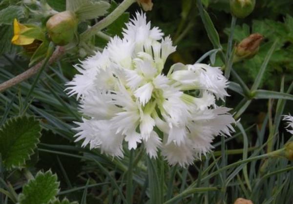 Dianthus 'White Ladies'