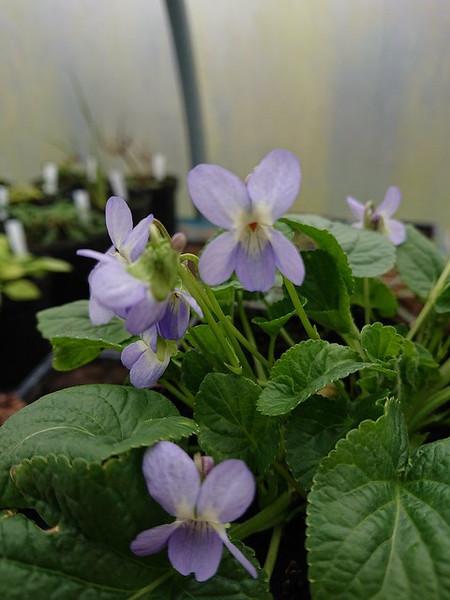 Viola odorata 'Colombine'