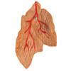 Heart Model with Thymus, 3 parts   3B Scientific G08/1