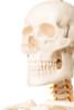 Value Standard Human Skeleton - skull