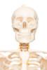 Value Standard Human Skeleton - bust