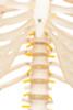Value Standard Human Skeleton - thorax