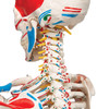 Super Skeleton with Muscle and Ligaments and Hanging Stand - Cervical spine detail