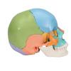 22- part Didactic Colour Skull | 3B Scientific A291