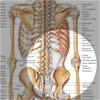 The Skeletal System anatomical chart - hip