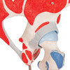 Muscled Hip Joint, 7-part