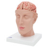 Deluxe Brain with Arteries on base of Head, 10 parts | 3B Scientific C25