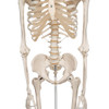Stan - Standard Skeleton Model - thorax