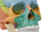 Erler Zimmer 22 Part Disarticulated Skull, Didactic color, 4708