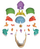 Erler Zimmer 22 Part Osteopathic Disarticulated Skull, Didactic color, 4708