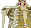 Rudiger Physiological Skeleton - shoulder articulation