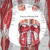 The Muscular System chart, Male - Highlight