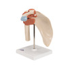 Deluxe Functional Shoulder Joint | 3B Scientific A80/1