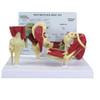 Mini Muscled Joint Set - GPI 1900