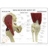 Mini Muscled Joint Set
