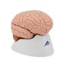 Brain Model, 4 parts | 3B Scientific C16