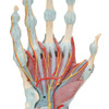 Hand Skeleton Model with Ligaments and Muscles - removed