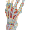 Hand Skeleton Model with Ligaments and Muscles - detail