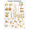 Cranial Osteopathy chart, 50cm x 70cm