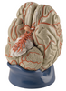 Deluxe Eight Part Life Size Brain With Arteries