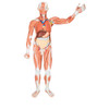 Life-Size Human Male Muscular Figure, 37 part