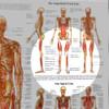 Human Myofascial Meridians - detail
