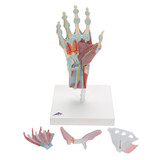 Hand Skeleton Model with Ligaments and Muscles, 4 parts | 3B Scientific M33/1