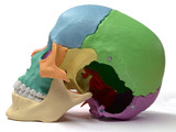 Disarticulated skull comparison