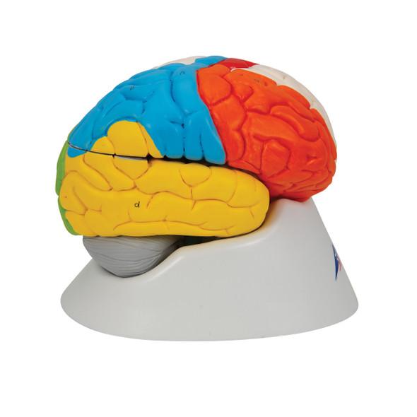 Neuro-anatomical Brain, 8-part with Smart Anatomy | 3B Scientific C22