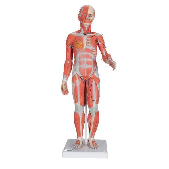 Dual-sex Muscular Figure, 33 parts | 3B Scientific B55