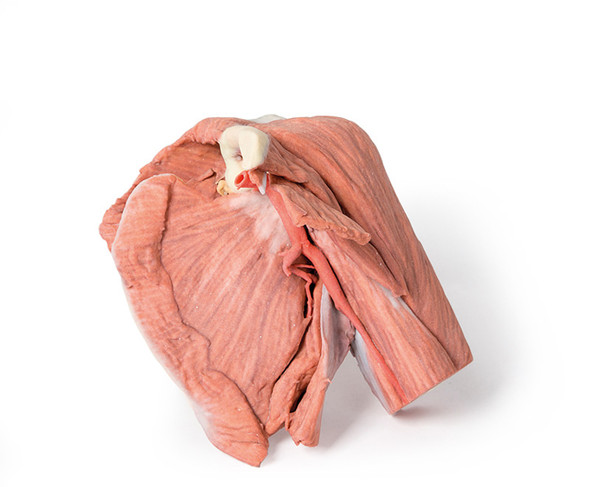 Shoulder (left) Superficial muscles and axillary/brachial artery - 3D Printed Cadaver