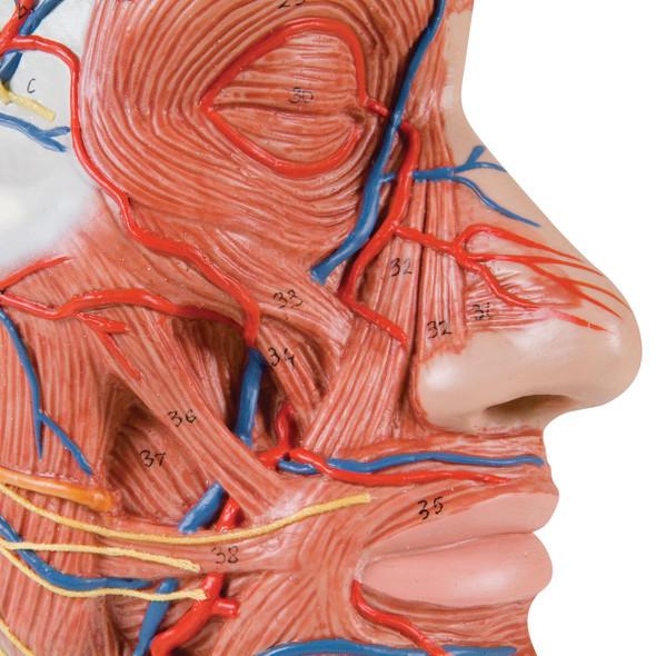 Half Head with Musculature | 3B Scientific C14
