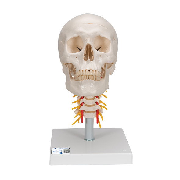 Human Skull with Cervical Spine, 4 part   3B Scientific A20/1
