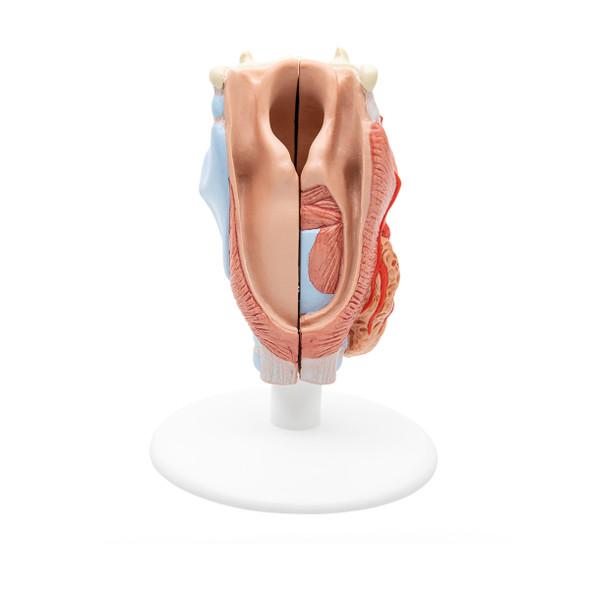 Larynx Model, 2 Part   3B Scientific G22