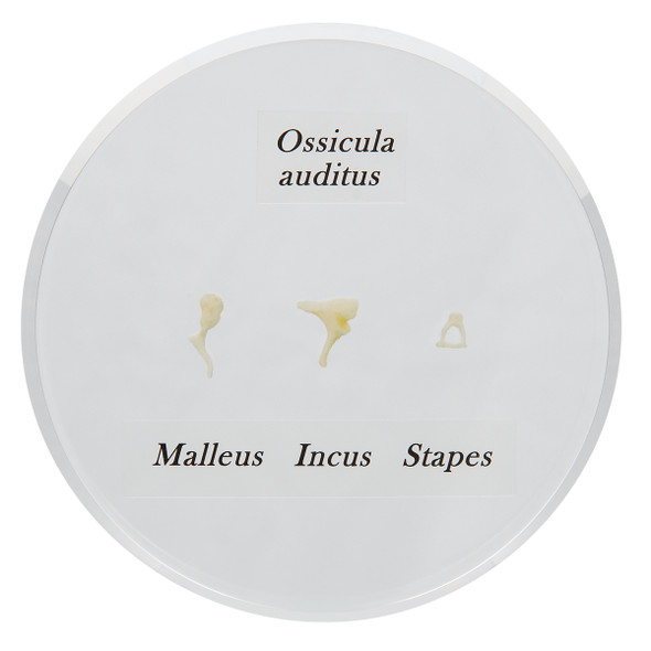 Model of Life-size Auditory Ossicles   3B Scientific E13
