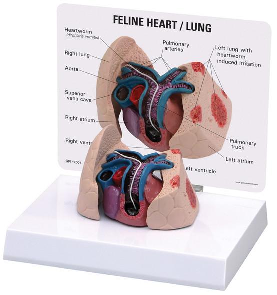 Feline Heart / Lung
