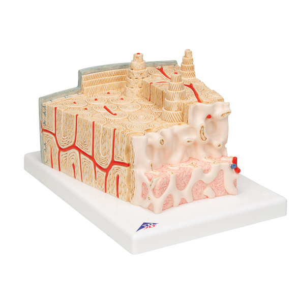 MICROanatomy Bone Structure Model, enlarged 80 times