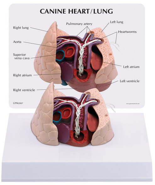 Canine Heart / Lung