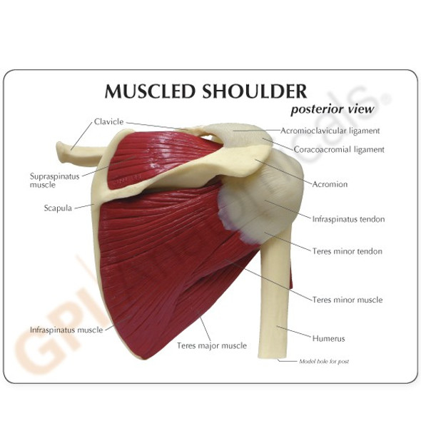 Muscled Shoulder