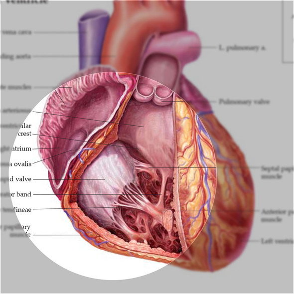 Anatomy of the Heart chart - detail