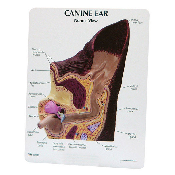 Canine Ear - Normal / Infected