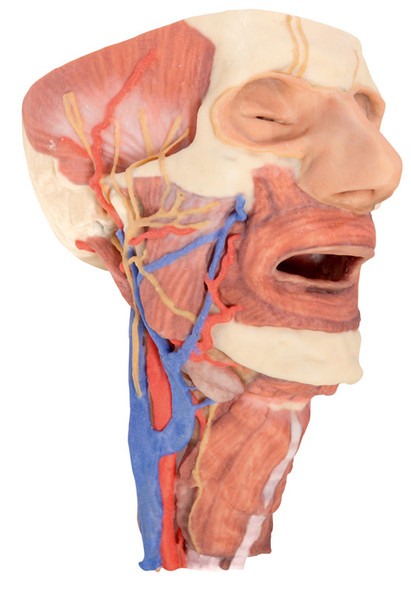 Head and visceral column of the neck - 3D Printed Cadaver
