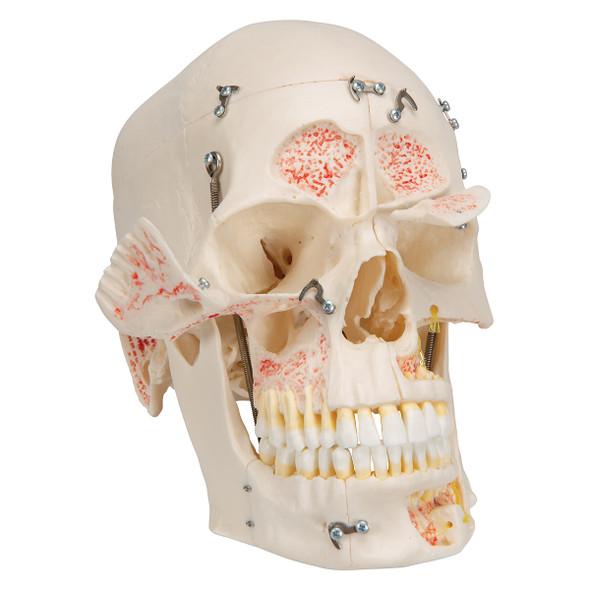 Deluxe Demonstration Skull | 3B Scientific A27