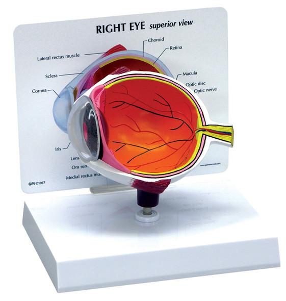 Sectional Eye Model