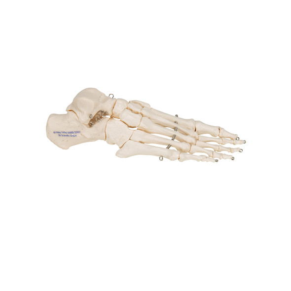 Foot Skeleton   3B Scientific A30