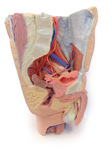 Male left pelvis and proximal thigh - 3D Printed Cadaver